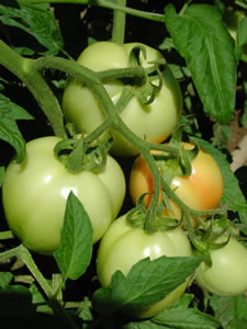 Finson Farm Tomatos